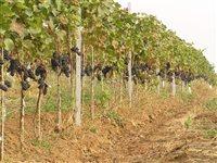 vinohrady-1